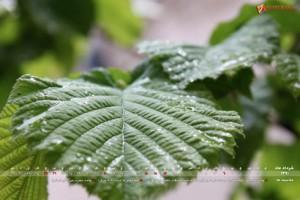 leaf-thumb