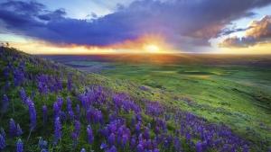 lavender_fild_in_the_sunset